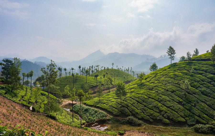 New tea Munnar