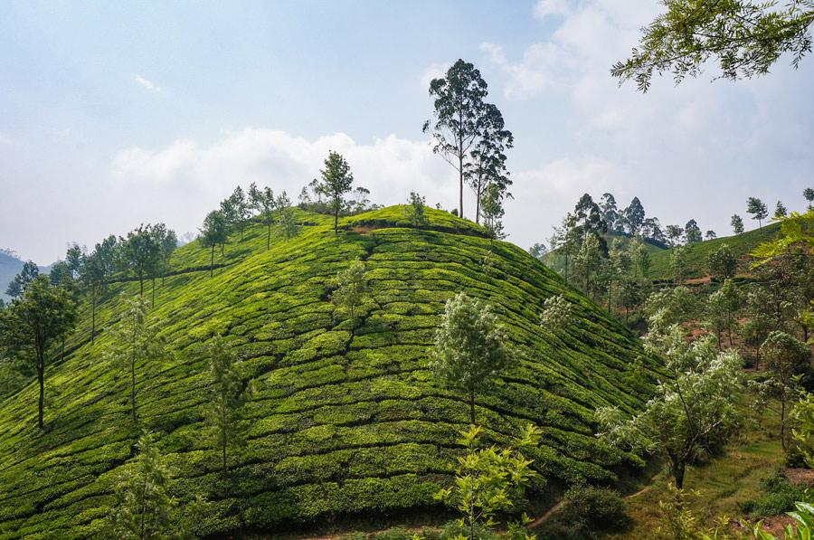 Tea Munnar
