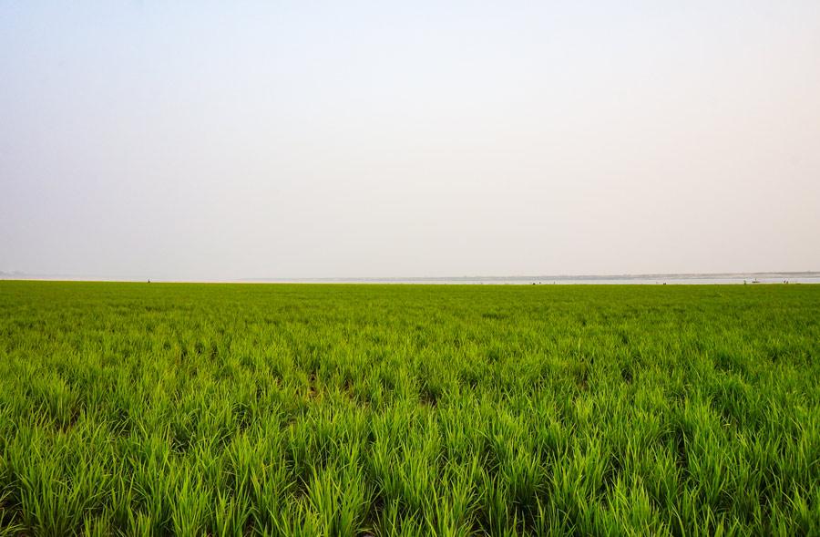 Green fields Bangladesh
