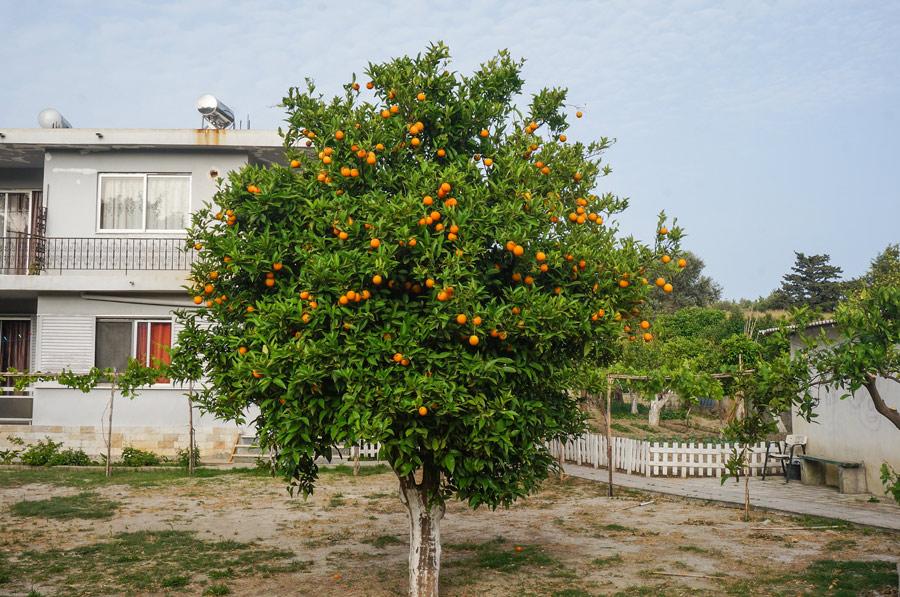 Rhodes oranges