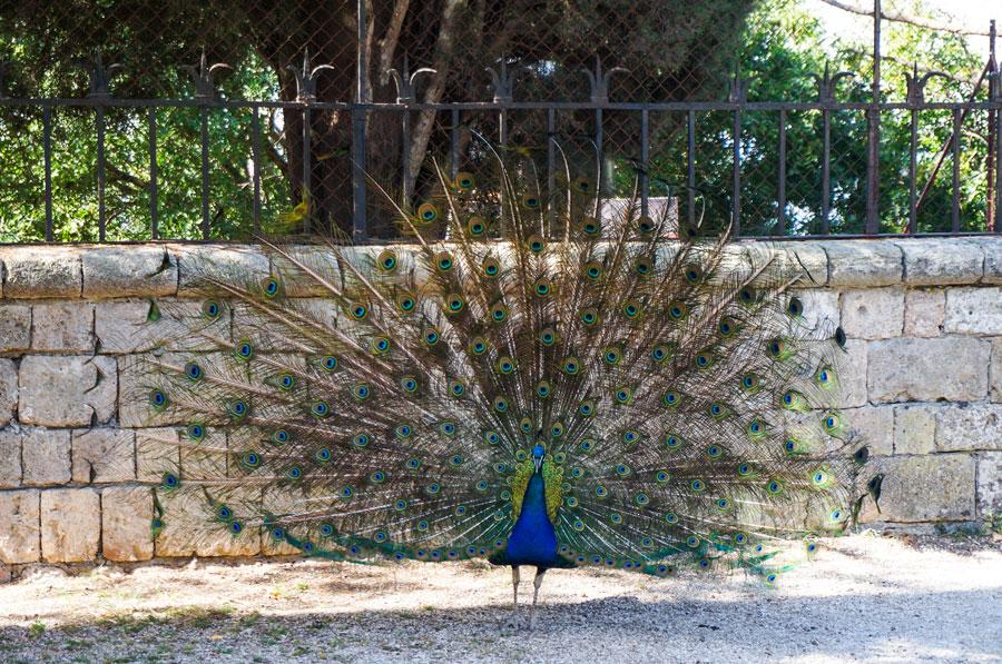 Peacock Rhodes