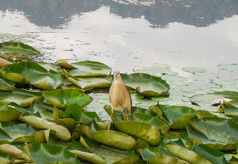 Dal Lake Bird